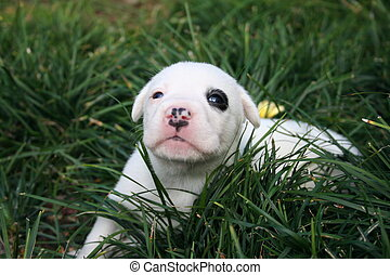 black eye pup - white puppy with a black patch over the righ...