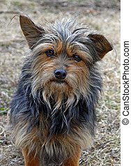 Very Shaggy Dog 4 - A portrait of the very shaggy small dog...