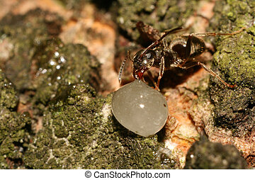 Drinking ant - Macro photography of an ant drinking (eating)...