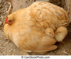 Family - Chickenmum and Chickenbabies