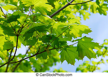 Green leaves - Bckground of new green spring maple leaves