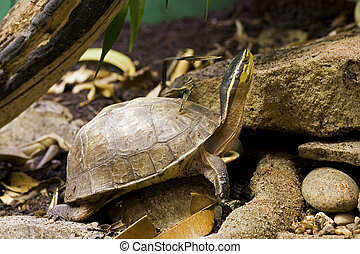 Turtle - Asian Box Turtle (Cuora spp.) is native to...