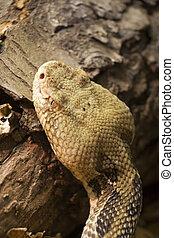 Snake - Timber Rattlesnake Crotalus horridus