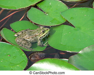 green frog - nice waterfrog