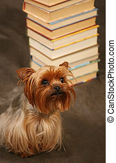 Yorkshire terrier - Portrait of yorkshire. Sitting in front...