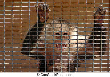 Angry Monkey - An angry capuchin monkey in a cage bears his...