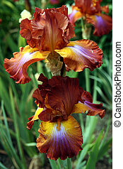 Root Beer Iris - Hybrid Iriss with stunning colors
