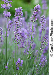 Lavender - A field of lavender in late spring shallow DoF...