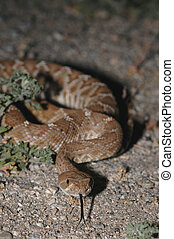 Red Diamond Rattlesnake - A red diamond rattlesnake found at...