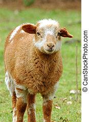 Spring, new born lamb