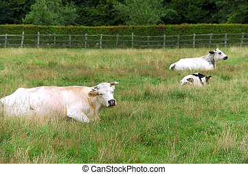 Cows grazing in meadow