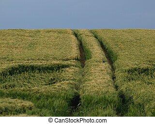 Traces in a cornfield