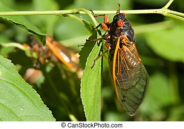 Cicadas 19 - Red eyed 17 year cicada