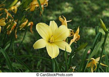 Stella D\\\'oro Daylily - Yellow Stella D\\\'oro daylily in...