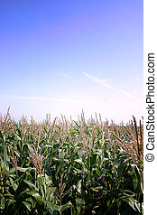 Summer Cornfield - English Summer Cornfield in Cheshire UK...