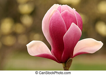 Pink Magnolia - A very Beautiful pink magnolia blossom