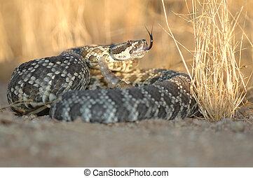 meridional, pacífico, serpiente de cascabel