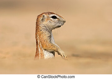 Ground squirrel - Desert dwelling ground squirrel Xerus...