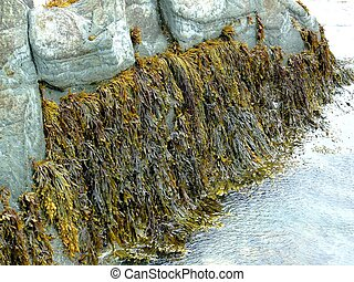 seaweed & periwinkles - seaweed is used in toothpaste...