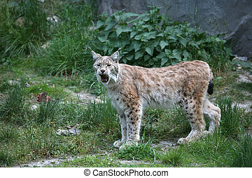 Lynx - North European lynx in a german zoo
