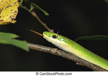 Rough Green Snake - A rough green snake blends in with the...