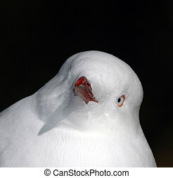 Gull Portrait - An African seagull has a very unique...