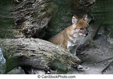 Dhole - Asian wild dog in a german zoo