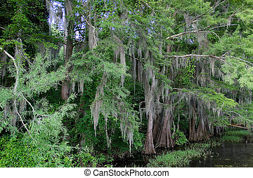 Cypress Tree With Spanish Moss - Moss covered tree