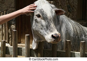 Zebu Being Petted - Portrait of a zebu with a hand reaching...