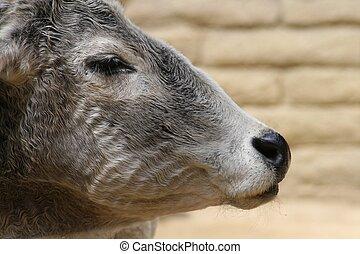 Zebu in Profile - A portrait of a zebu in profile