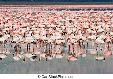 Flamingos - Great number of Flamingos at Nakuru Lake, Kenya.