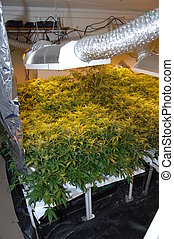 Illegal Cannabis Factory - Illegal skunk cannabis marijuana...