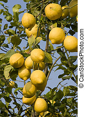 Lemons growing on a lemon tree in Murcia, Spain.