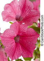 Petunia flower - A close up of a Petunia flower