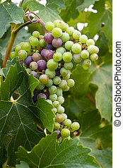 Grapes in Vine - A grape is the non-climacteric fruit that...