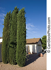 Arizona Front Yard - Beautiful Three Tall Cypress Trees in...
