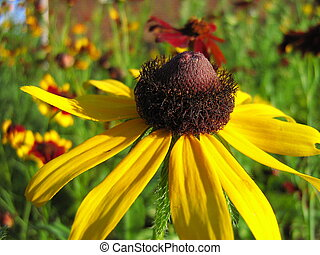 Coneflower blooming in a flower garden