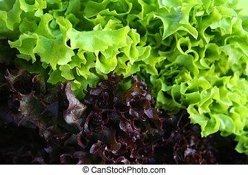 bicolored, insalata
