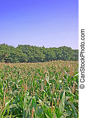 Cheshire Corn Field at the End of Summer