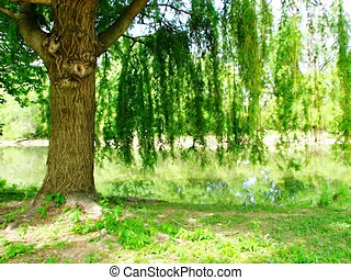Willow Tree - A photo of a willow tree by a river.