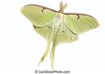 Luna Moth (Actias luna) - A live large, nocturnal Luna moth...