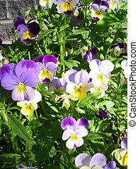 bountiful violas - violas growing in a garden