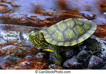 Red-Eared Slider 3 - A red-eared slider sitting on a rock in...