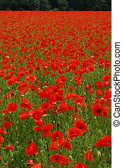 Poppies - Red poppies field