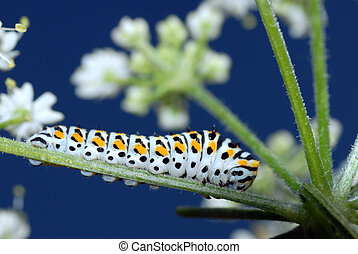 caterpillar swallowtail - macro of caterpillar of...