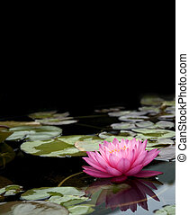Into the Light - Pink Water Lily fading to black background