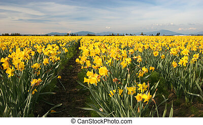 Field of Yellow Daffodils, Pacific Northwest, USA