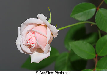Rose - white pink rose and green leaves on white and gray...