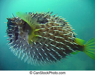 porcupine fish - alive porcupine fish in the blue siam