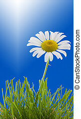Daisy - Shasta daisy in grass with a blue background